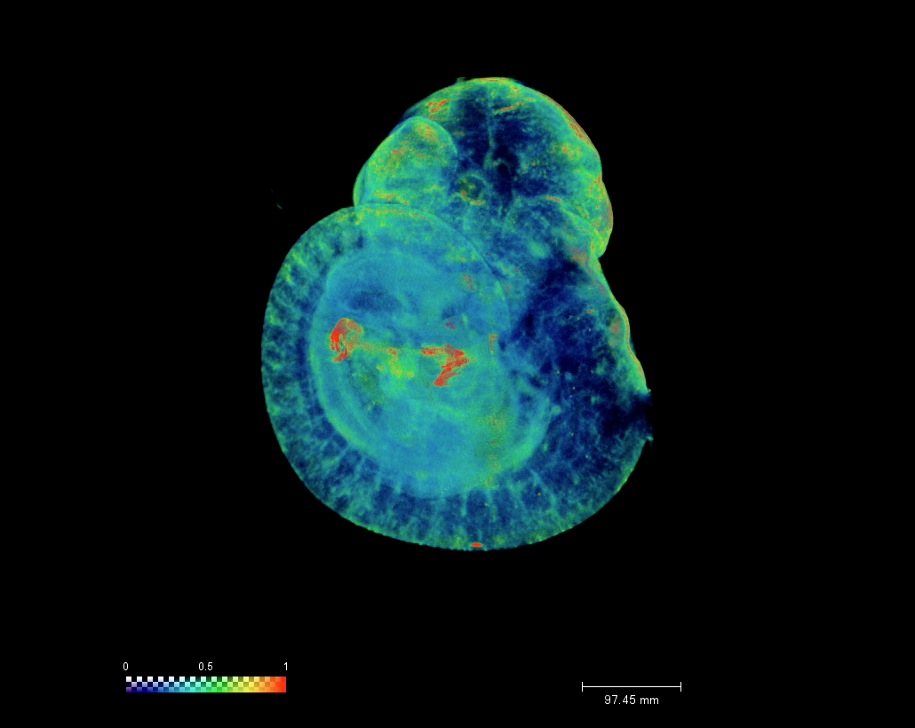 E10.5 Mouse Embryo Heat Map
