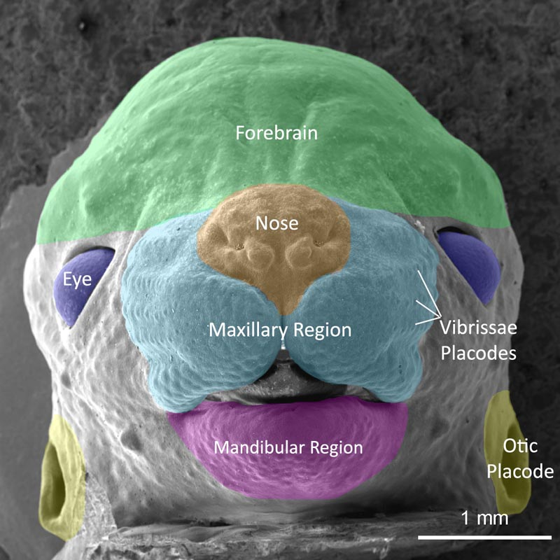 Mouse muscle anatomy